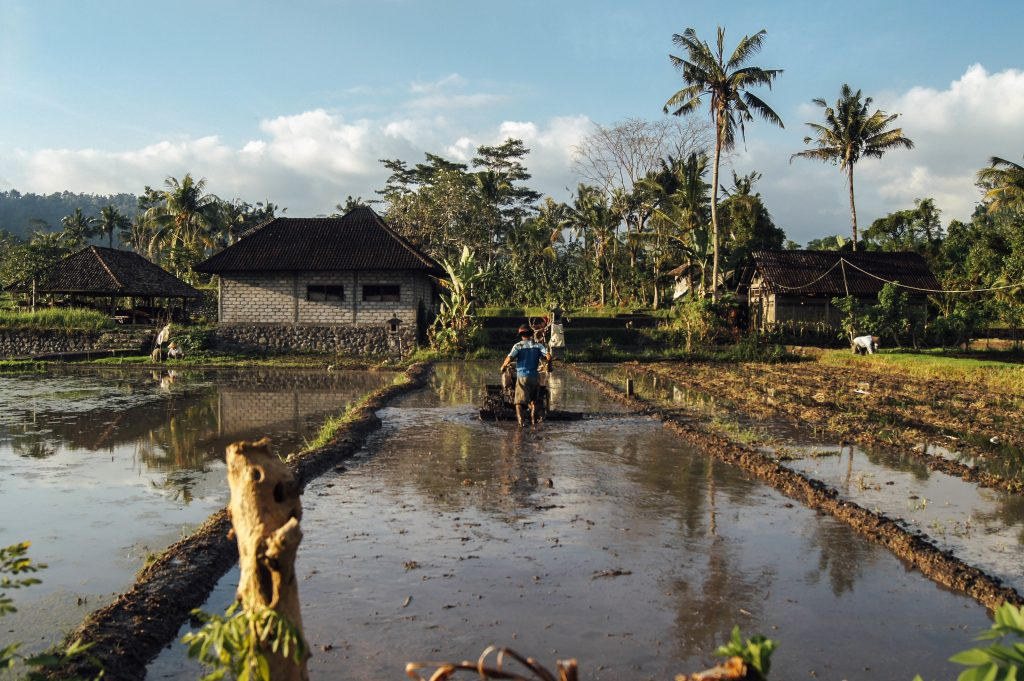 Man farming rice patty field