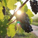 photo of grapes in a vineyard